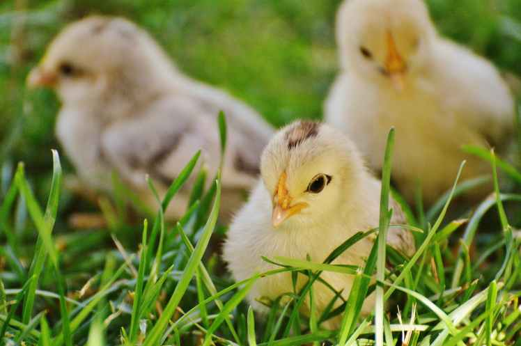 chicks-chicken-small-poultry-162164.jpeg