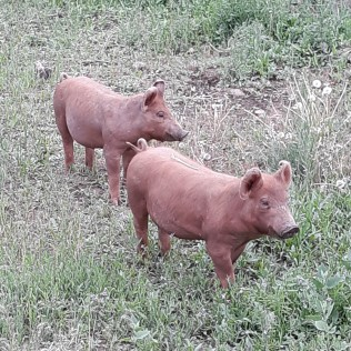 piggies crop